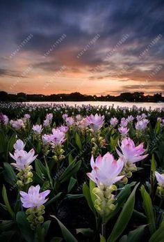10 pcs/bag Thailand curcuma seeds,also called Siam Tulip seeds,rare flower seeds a member of the Zingeraceae family garden plant