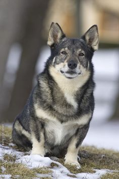 Swedish Vallhund - possibly our next dog :)