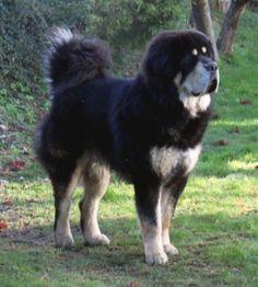 Mongolian Four Eyed Dog/mongolian Mastiff Mongolian Dog