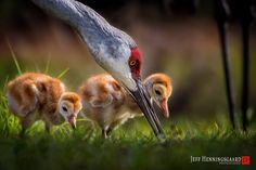 Jeff Henningsgaard, Winged Wonders - Bird Photography     On the Hunt.  Sandhill Cranes
