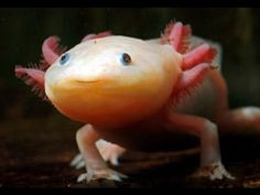 A critically endangered [type of salamander], the axolotl can only be found in Lake Xochimilco, on the outskirts of Mexico City. Axolotl, Blobfish, Ugly Animals, Unusual Animals, Cute Animals, Strange Animals, Reptiles And Amphibians, Mammals, Weird Sea Creatures