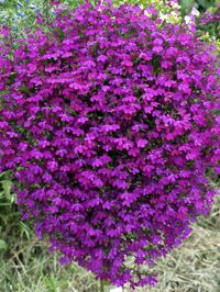 Lobelia Purple Star Green Thumb Flower Bed Plants Garden Plants