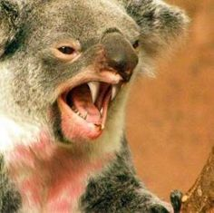 Making the move to Australia? Be very careful about drop bears! They may look cute but they are very dangerous. Moving to Australia: 101 tips for when you are going to make the move. Drop Bear, Moving To Australia, Australia Travel, Saltwater Croc, Inland Taipan, Funnel Web Spider, Australia Animals, Coast Australia, Great White Shark