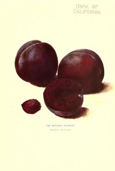 "20th Century - The Rutland Plumcot named after the founder of Rutland, John Matthew Rutland, who researched and planted early orchards in the Rutland area. ""New products of the trees; a treatise on Luther..."