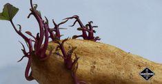 Do potatoes have to flower before harvesting? Potato Gardening, Planting Potatoes, Grow Potatoes, Veggie Gardens, Deep Winter, Winter Snow, Growing Vegetables, Fresh Vegetables, Potato Bugs