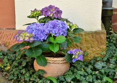 Easily change the color of your hydrangea flowers by changing the soil's Ph. Check these details of how to change hydrangea colors and enjoy the color show! Hortensia Hydrangea, Hydrangea Flower Pictures, Hydrangea Colors, Organic Gardening, Gardening Tips, Flower Gardening, Water Waste, Square Foot Gardening, Front Yard Landscaping