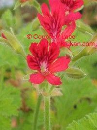 Geranium Concolor Lace tuoksu