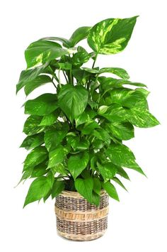 Houseplants refresh and revitalize our interiors by reducing indoor air-pollution. Find out which plants constitute our Top 10 Indoor Air Purifying Plants. Best Indoor Plants, Cool Plants, Plante Pothos, Pothos Plant Care, Home Air Purifier, Types Of Herbs, Jade Plants, Herbs Indoors, Tropical Plants