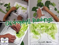 """Painting"" with chlorophyll during our plant unit. Blog post with lots of fun ideas for teaching about the life cycle of plants. Also includes FREE printable anchor charts for Photosynthesis and Parts of a Plant."