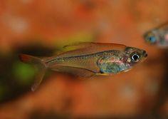 trochilocharax ornatus