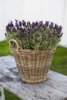 Lavendel sammen med oliventrær og hortensia gir en følelse av Middelhavet.