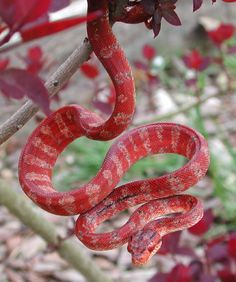 all-reptiles:    Amazon tree boa