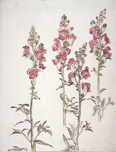 """""""Snapdragon"""" 1903, by Beatrix Potter - Beatrix Potter was a talented watercolourist, particularly of the natural world, from an early age and her paintings and drawings are now in collections, both private and public, all over the world."""