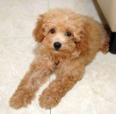 top hypoallergenic dogs mix