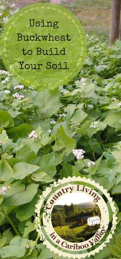 Buckwheat is a great soil builder! It grows FAST so is great for a late summer green manure. Here's how to use Buckwheat in your garden.