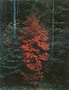 Eliot Porter.Red Tree near Cades Cove, Great Smoky Mountains National Park, Tennessee, October 7, 1967