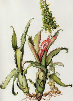 Aechmea+tocantina.+Margaret+Mee.+Flores+da+Floresta++Amazônica.+2010..jpg (1149×1600)