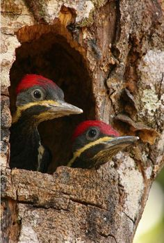 """BABY WOODPECKERS"""