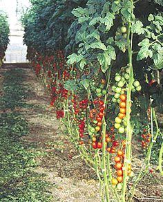 Imagen relacionada Fruit, Tomato Plants, Window Boxes, Tomatoes, The Fruit
