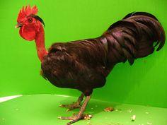 Breed Savers: Naked Necks - Chickens that Look Like Turkeys
