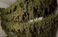 A Worldwide movement for the legalization of marijuana.
