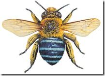 Australia's scientists are abuzz with the potential of our native bees, some of which can be deadly. Australian Insects, Australian Native Flowers, Australian Animals, Australian Garden, Bumble Bee Tattoo, Australian Tattoo, Bee Pictures, Bee Drawing, Native Tattoos