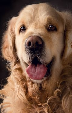 golden retriever/pet dog-----Hi,how about my new hairstyle?