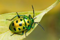 small green bugs in PA - Google Search
