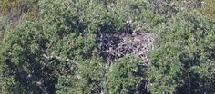 Cria de abutre-preto no ninho artificial na Herdade da Contenda. Abutre-preto volta ao Alentejo 40 anos depois. Outdoor, Homestead, 40 Years, Nest Box, Black, Outdoors, Outdoor Games