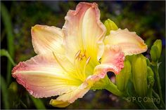 Frilly Daylily::Yellow w/Pink Accents Pink Accents, Day Lilies, Harvest, Blush, Lily, Floral, Garden, Plants, Explore