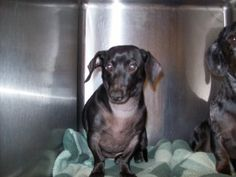 Murphy is a Dachshund.  He is 8 years old and very sweet.  He seems to do good with other dogs and listens well. http://www.petfinder.com/petdetail/10435516