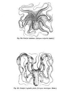 La #pieuvre commune ou #poulpe commun est une espèce de pieuvre de la famille des octopodidés. Ces #mollusques primitifs d'il y a 500 millions d'années vivent dans les eaux côtières des #mers tropicales et sub-tropicales. Réputée pour son intelligence, c'est l'espèce la plus étudiée #numelyo #bestiaire