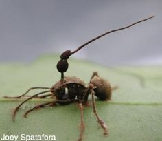 'Zombie Ant' Brain Fungus