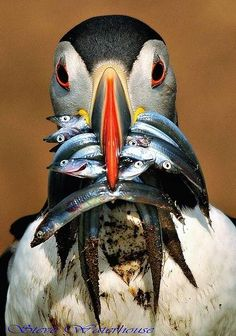 This photo weirded me out. I thought it was a        person in a mask! Atlantic Puffin with a mouthful