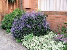 Mona Lavender Plectranthus In Landscape - Yahoo Image Search Results Lavender Garden, Lavender Flowers, Lawn And Garden, Home And Garden, Chelsea Flower Show, Natural Home Decor, Shade Plants, Dream Garden, Garden Inspiration