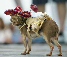 chihuahua tequila sombrero dog cute