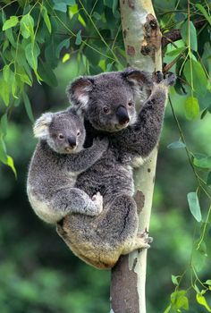 Koala carrying her 8 month old cub on her back in a Eucalyptus tree, Australia mammals Cute Baby Animals, Animals And Pets, Funny Animals, Australian Animals, Tier Fotos, Pet Birds, Animals Beautiful, Beautiful Beautiful, Mammals