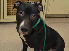 A1067758 Temoto..MALE, BLACK / WHITE, AM PIT BULL TER MIX, 8 mos OWNER SUR – STRAY WAIT, NO HOLD Reason NYCHA BAN Intake condition EXAM REQ Intake Date 03/16/2016, From NY 10459, DueOut Date ,
