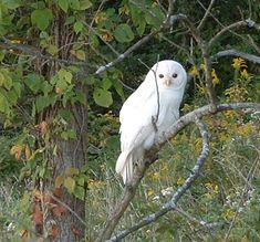 White Barred Owl Strix varia - Picture 3 in Unusual Owls: Coloured - Leucistic Barred Owl, Central Illinois.