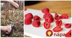 Maliny sú stále vzácnejšie. Ak pestujete na svojom pozemku, mali by ste vedieť, ako sa o ne postarať aj potom, ako vám priniesli úrodu. Mnohí záhradkári si neuvedomujú, aký dôležitý je v prípade malín letný Raspberry, Strawberry, Fruit, Health, Food, Gardening, Halloween, Health Care, Eten
