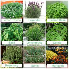 9 plants to repel mosquitos