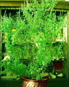 Tulasi -Where the breeze blows through Tulsi plants, it makes the surrounding areas pure.