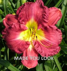 Photo of Daylily (Hemerocallis 'Made You Look'). Caption: Photo Courtesy of Ladybug Daylilies . Day Lilies, Photo Location, You Look, Bloom, Make It Yourself, Plants, How To Make, Image