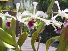 Laelia crispa, species orchid from Brazil