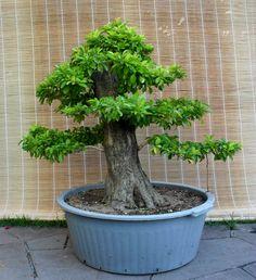 Pra quem ainda não viu, a Duranta,vulgo pingo d´ouro, pode crescer muito. Esta coletei fim de semana passado. Tinha uns 3,5m ou mais. Como sou baixinho, me senti um lenhador, hehehe. O bichinho tav… Bonsai Art, Bonsai Garden, Ikebana, Duranta, Miniature Trees, Floral Arrangements, Gardening, Gifs, Bonsai Trees