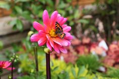 Dahlia Fuchsiana - Green leaves with large pink flowers. Water well before planting and keep moist until established. Dig up tubers in late autumn. Plant in March/April. www.thepavilion.ie