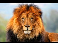 pictures of lions and tigers | Tiger vs lion - Animal fight club Wiki