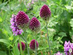 Allium sphaerocephalon - Trommelstokje in de Digituin.