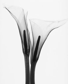 """Two Callas"" • Steven N. Meyers (radiograph)"