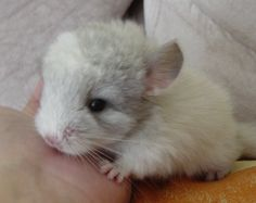 images of baby animals | Baby Chinchilla Pictures baby-born-chinchilla – Baby Animalz